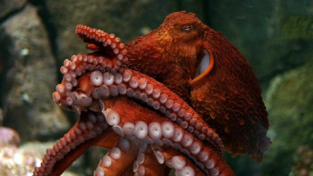 Giant Pacific octopus image courtesy of Monterey Bay Aquarium.